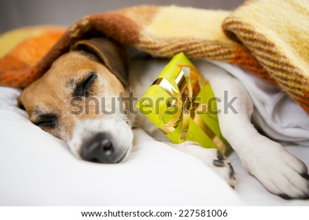 Present box gift with dog. Sleeping cozy pet  under a blanket on the pillow. In anticipation of the holiday. Do not open until Christmas - stock photo