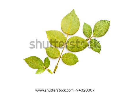 Press green three leaf from rose leaf - stock photo