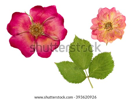 Pressed and dried a delicate transparent flower and bright green leaf rose hips. Isolated on white background. - stock photo