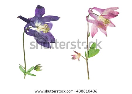 Pressed and dried blue, pink  flowers  aquilegia vulgaris. Isolated on white background. For use in scrapbooking, floristry (oshibana) or herbarium. - stock photo