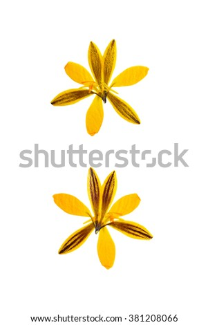 Pressed and dried crocus (Saffron) flower photographed from front and back side flower. Isolated on white background.
