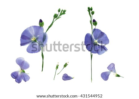 Pressed and dried delicate blue flower flax. Isolated on white background. - stock photo