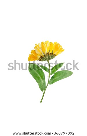 Pressed and dried delicate flower of calendula officinalis(marigold). Isolated on white background. - stock photo