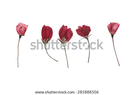 Pressed and dried flower buds of apple bright. Isolated on white background. - stock photo