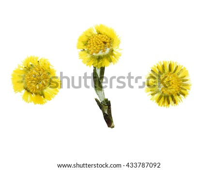 Pressed and dried flower  coltsfoot (foalfoot, tussilago farfara) isolated on white background. Herbarium, floristry (oshibana). - stock photo