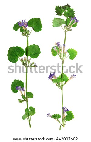 Pressed and dried flowers  glechoma hederacea on stem with green leaves.  Isolated on white background. For use in scrapbooking, floristry (oshibana) or herbarium. - stock photo