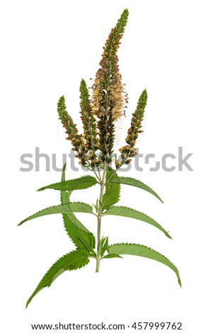 Pressed dried flowers veronica spicata isolated stock photo pressed and dried flowers veronica spicata isolated on white background for use in scrapbooking mightylinksfo