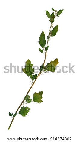 Pressed and dried leaves of white goosefoot (Chenopodium album) on stem with leaves isolated on white background for use in scrapbooking, floristry (oshibana) or herbarium.