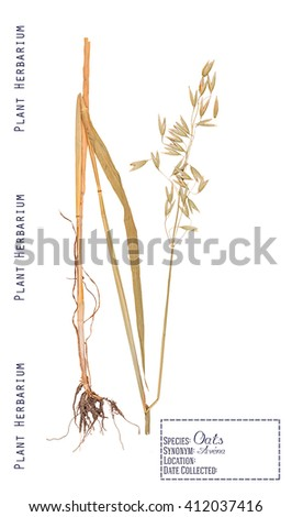 Pressed herbarium plant parts oat. Leaves, stems, roots, ear and grain isolated on white - stock photo