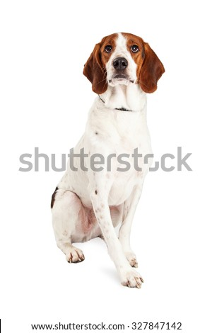 Pretty adult Basset Hound and Beagle mixed breed dog sitting upright and looking straight forward - stock photo