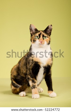 Pretty Calico cat on green background - stock photo