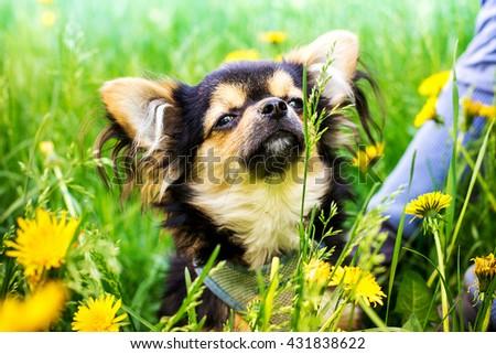 Pretty Chihuahua playin in dandelion field. - stock photo