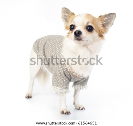 pretty Chihuahua with fashionable dress, pink pearl and manicure on white background - stock photo