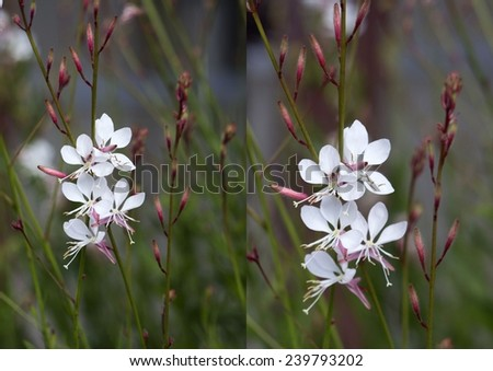 Pretty collage of elegant gaura species of Australian Butterfly Bush  with pink and white  flowers    adds cottage garden charm to an urban  street verge in spring  and summer. - stock photo