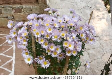 Pretty colorful flowers in full bloom - stock photo