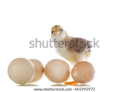 pretty cute chick with eggs