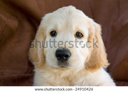 Pretty cute Golden Retriever puppy portrait