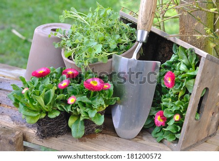 pretty daisies on wooden board ready to be planted, - stock photo