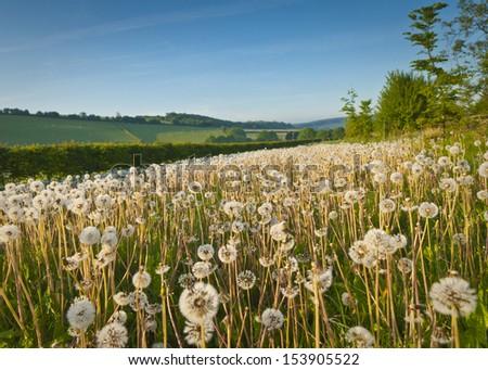 Pretty dandelion field and idyllic rural farmland in the distance. - stock photo