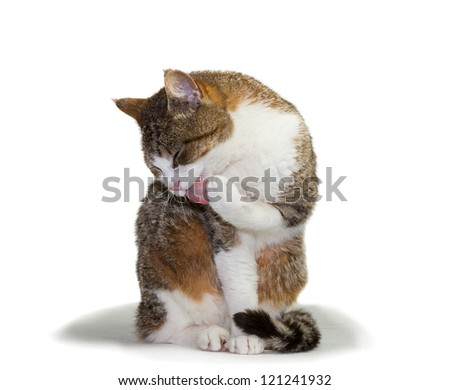 Pretty domestic cat sitting grooming itself licking its paw with its tongue out and eyes closed in contentment - stock photo