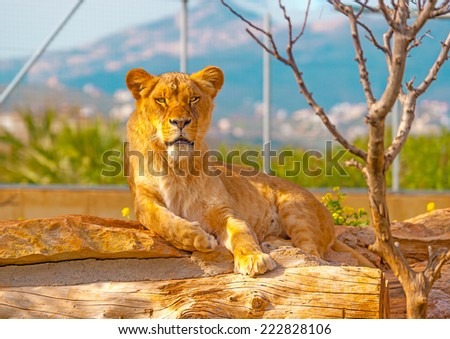 pretty female lion lying and staring - stock photo