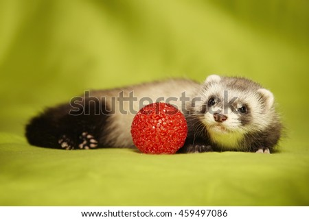 Pretty ferret puppy with red toy in studio - stock photo