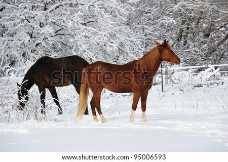 Pretty Horses in the snow, winter in Michigan USA - stock photo