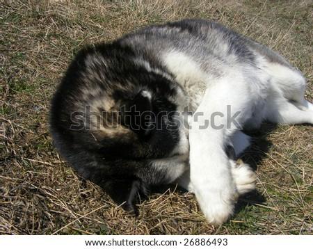 Pretty husky - stock photo