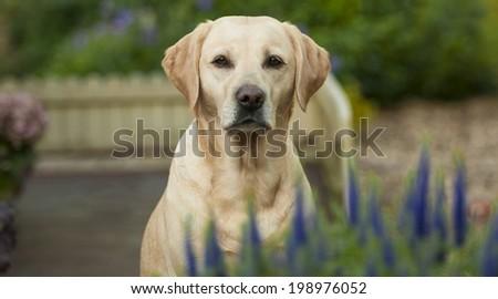 pretty labrador - stock photo