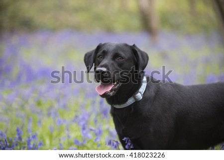 pretty labrador in pretty bluebell woods - stock photo