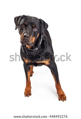 Pretty large Rottweiler dog standing on white studio background