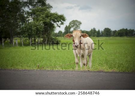 pretty little calf standing alone in green pasture. - stock photo