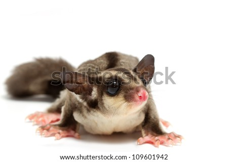 pretty little joey,young sugar glider on white background