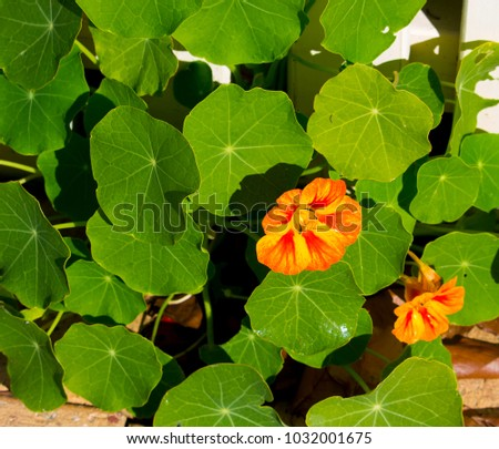 Pretty orange flowers common garden nasturtium stock photo royalty pretty orange flowers of common garden nasturtium plant tropaeolum peeping through a white metal fence blooming mightylinksfo