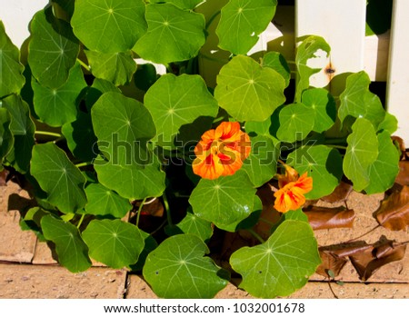 Pretty orange flowers common garden nasturtium stock photo download pretty orange flowers of common garden nasturtium plant tropaeolum peeping through a white metal fence blooming mightylinksfo