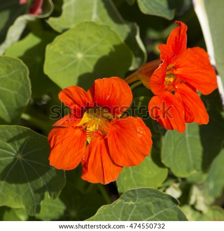 """gardennasturtium"" stock photos, royaltyfree images, Beautiful flower"