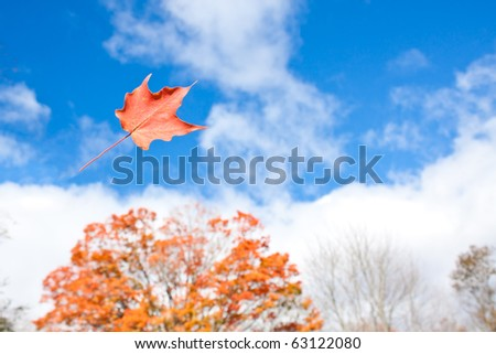 pretty orange maple leaf gets blown through air by gust of wind with maple tree in background - stock photo