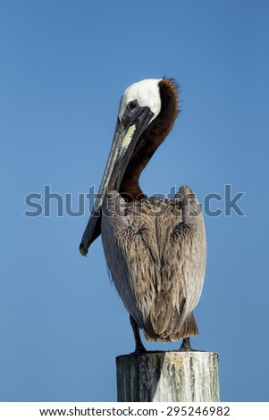Pretty pelican perched on post in Central Florida. - stock photo