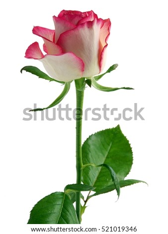 pretty pink and white rose isolated