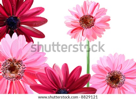 pretty pink flowers (painting drawing) over white - stock photo
