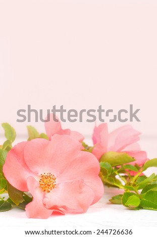 Pretty Pink Rose with Leaves on Rustic White Board Table with Room or Space in Light Pink Background Above Top for Copy, Text, Your Words.  Vertical  - stock photo