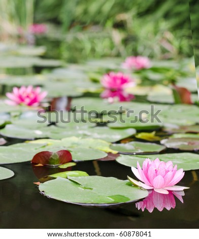 pretty pink water lilly - stock photo