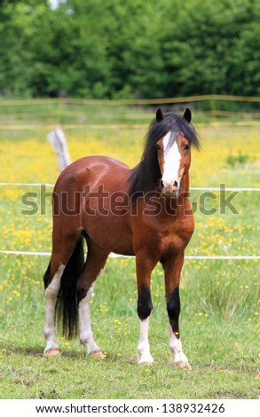 Pretty pony front view standing on a field before a fence - stock photo