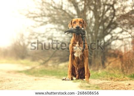 pretty portrait rhodesian ridgeback dog puppy hold duck - stock photo