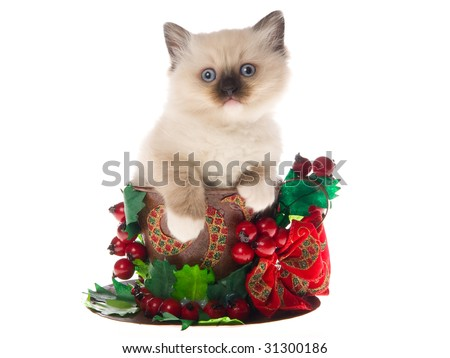 Pretty Ragdoll sitting inside large cup decorated with christmas berries bow, on white background - stock photo