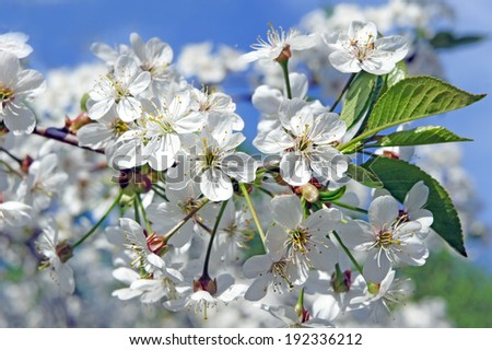 Pretty spring background. Cherry blossom in full bloom. Shallow depth of field - stock photo