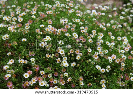 Pretty tiny white pink daisy flowers stock photo royalty free pretty tiny white and pink daisy flowers surrounded by green leaves mightylinksfo