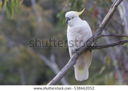 Pretty White Wild Cockatoo perched on a Tree Branch