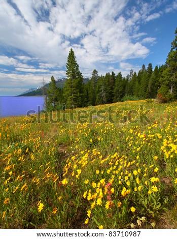Pretty wildflowers grow near the shore of Jackson Lake in Grand Teton National Park - USA - stock photo