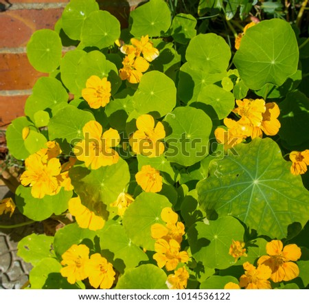 Pretty yellow flowers common garden nasturtium stock photo royalty pretty yellow flowers of common garden nasturtium plant blooming in early spring may be used in mightylinksfo